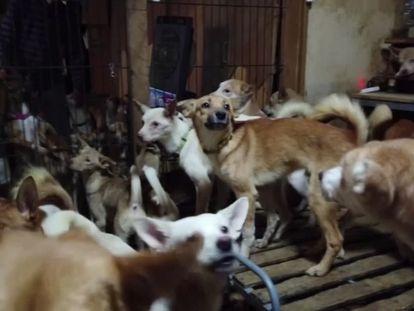 Casa donde vivían hacinados 164 perros, en Izumo (Japón). En vídeo, las condiciones en las que se encontraban los animales.