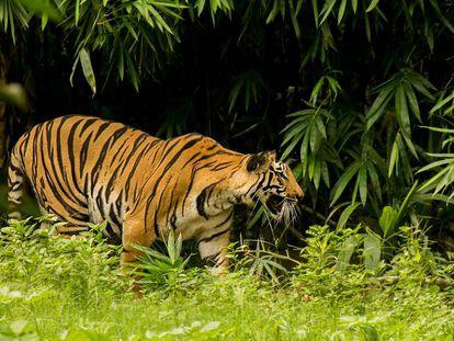 Foto de archivo de un tigre en la India.