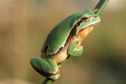 Los expertos diagnostican peligro extremo para la rana (en la imagen), las salamandras y las cecilias.