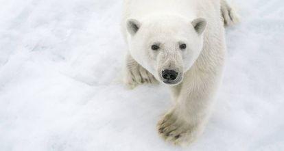 Un oso polar en el Ártico.