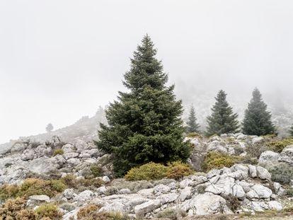 Los pinsapos más  jóvenes, tienen la forma triangular del árbol de Navidad. Se diferencian de los abetos del norte por sus hojas más gruesas y cortas.