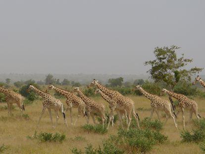 Manada de jirafas en la reserva natural de Kouré (Níger), en 2015.