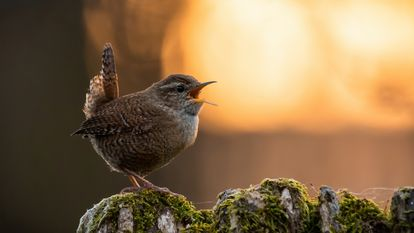 Un pájaro canta durante la puesta de sol.