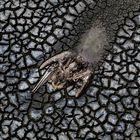 Los restos de un pelícano que se arrastro hasta morir en el lodo  del medio de la laguna Farallón en el municipio de Actopan, veracruz el día 21 de abril de 2021. México enfrenta una sequía histórica en la que según datos oficiales más del 88% del territorio nacional se encuentra en sequía fuerte y el 8 % en sequía extrema.