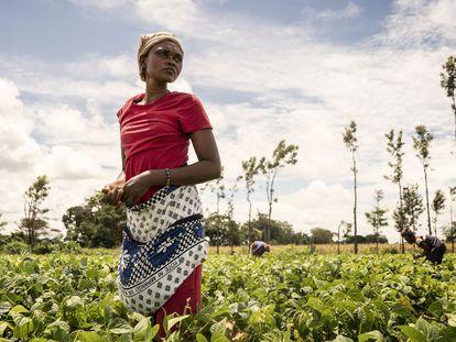 Una mujer cosecha alubias para la Cooperativa de Njukini, en Kenia.