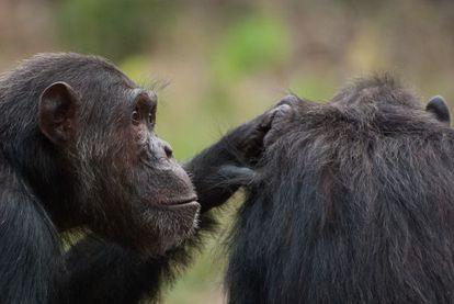 Los chimpancés machos optan por la coerción sexual para ser padres.