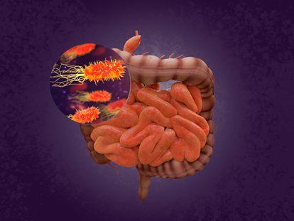 Las bacterias del intestino regulan el funcionamiento del sistema inmunitario en todo el organismo. / CSIC.
