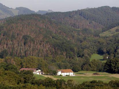 Árboles con tono rojizo en un pinar de Zumaia (Gipuzkoa) afectado por la enfermedad de la banda roja.