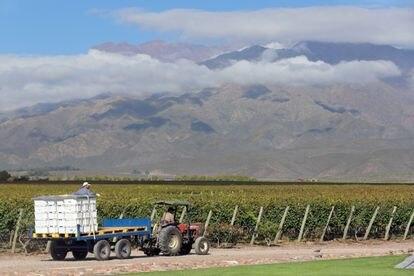 Dos trabajadores cosechan uva para la producción de vino en Mendoza, Argentina, en marzo de 2019.