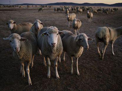 Rebaño de ovejas en el valle de Alcudia, al amanecer.