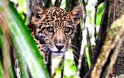 Un jaguar en el Amazonas.
