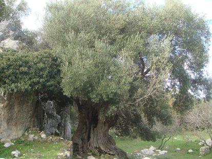 Acebuche centenario en la antigua ciudad romana de Ocuri, junto a Ubrique, incluido en el catálogo de árboles y arboledas singulares de Cádiz.