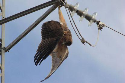 Un águila perdicera electrocutada cuelga del apoyo de un tendido eléctrico.