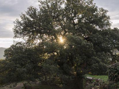 La salida del sol tras las ramas de la carrasca milenaria de Lecina.
