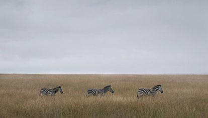Cebras en Masái Mara. Son una de las presas habituales de los leones.