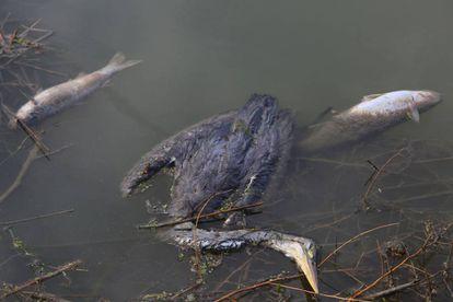 Un ave y peces muertos en la barrera de contención situada el cauce antiguo del río Segura.