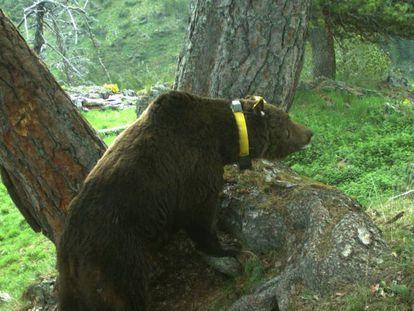 El oso 'Goiat', introducido en el Pirineo catalán en 2016, en una imagen de archivo.