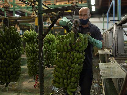 Un operario de la cooperativa Cupalma trabaja en una empaquetadora en el municipio de Los Llanos de Aridane.