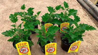 Pack de 6 macetas con citronela aromática antimosquitos.