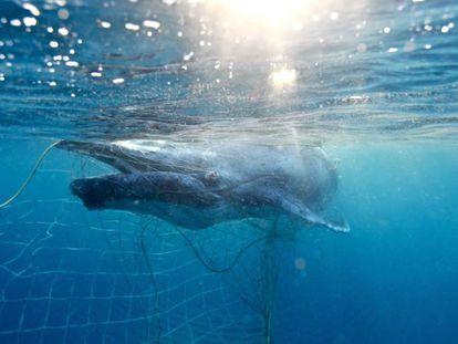 Una cría recién nacida de ballena jorobada intenta escapar de una red para tiburones en las aguas del Estado de Queensland, en Australia.