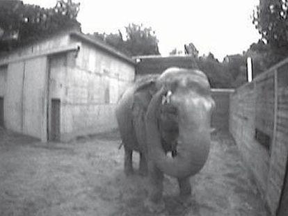 La elefanta <i>Happy</i> se toca la marca en su ceja derecha.
