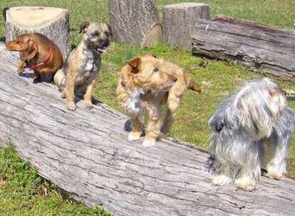 Cuatro razas de perro que tienen pelo de diferente longitud.