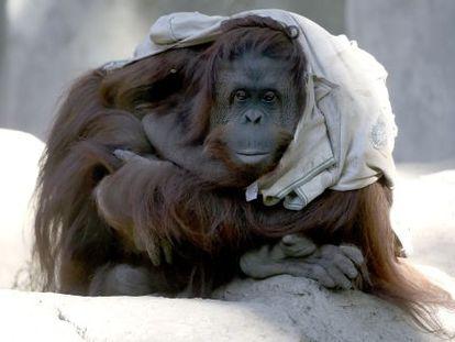La orangutana Sandra, en el zoo de Buenos Aires, en mayo.