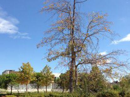 El Quercus Palustris enfermo en el parque de Las Cárcavas.
