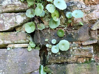 Ombligo de venus crecido en un muro.