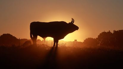 Toro de la ganadería de El Pilar, imagen cedida por el ganadero.