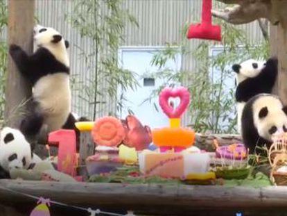 Hubo regalos, canciones, globos y comida para celebrar que los animales que cumplían un año de vida