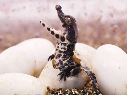 Un cocrodilo africano enano sale de su huevo en Royan, Francia.