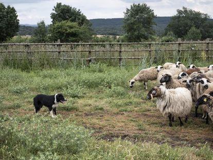 Lur, perra pastor, junto con el rebaño de ovejas que guía, en la zona de Madarcos (Sierra Norte de Madrid).