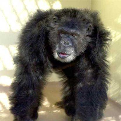 Clint, el chimpancé cuyo ADN ha sido utilizado para secuenciar el genoma de estos primates.