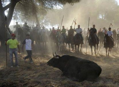 Momento del alanceamiento del toro, esta mañana en Tordesillas