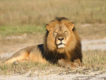 El león Cecil en el parque nacional de Hwange en Zimbabue.