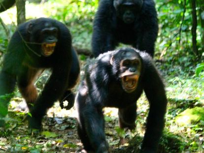 Los chimpancés necesitan coordinarse en sus conflictos entre grupos.