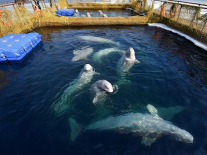 La cautividad de un centenar de cetáceos moviliza a activistas de todo el mundo. El Gobierno ruso pide que se liberen