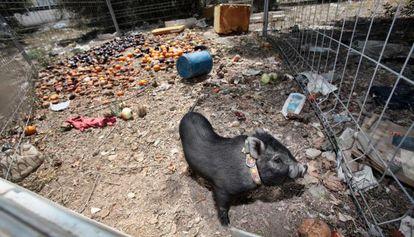 Un cerdo vietnamita en Benidorm.