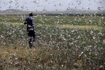 Invasión de langostas en los campos de Jigiga, en Etiopía.
