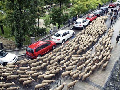 Las ovejas a su paso por la Cuesta de la Vega.