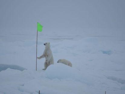 Dos osos polares merodean el campamento de la expedición MOSAIC en al Ártico, el pasado 28 de agosto.