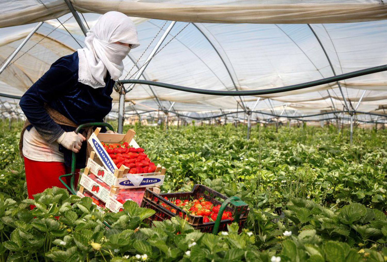 Una mujer recoge fresas en una explotación agrícola de Cartaya, en la provincia de Huelva.