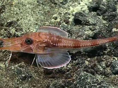 El pez que 'anda' por el fondo del mar