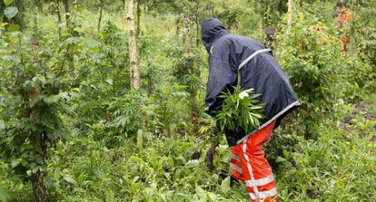 Un cultivo de marihuana en la frontera entre Holanda y Alemania, en una imagen de archivo.