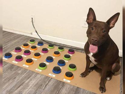 Foto de 'Stella' publicada por su dueña en Instagram. En vídeo, grabación donde se muestra al perro accionando un sistema de botones.