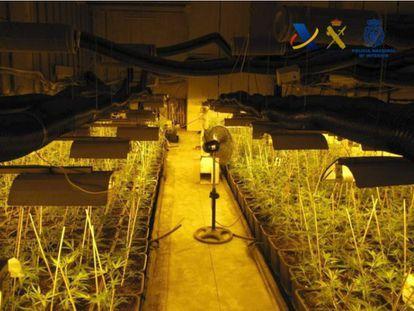 Plantacion de marihuana intervenida en la operación Mastin.
