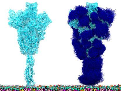 La proteína espícula del SARS-CoV-2 'desnuda' (izquierda) y recubierta del glaseado de glicanos (azúcares) que la protegen y la esconden de nuestro sistema inmunitario (derecha).