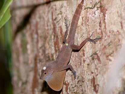Los anolis, como esta especie de tronco y suelo, consiguen regresar a su territorio, por muchos obstáculos que encuentren.