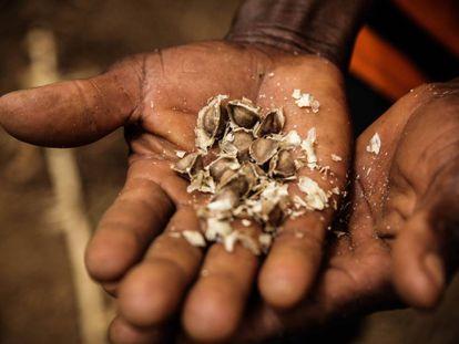 De las semillas de moringa se extrae un aceite muy valioso para la fabricación de cosméticos. De las hojas se elaboran condimentos para la comida.